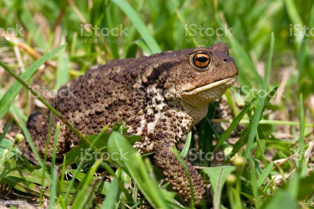common toad bufo bufo stock photo