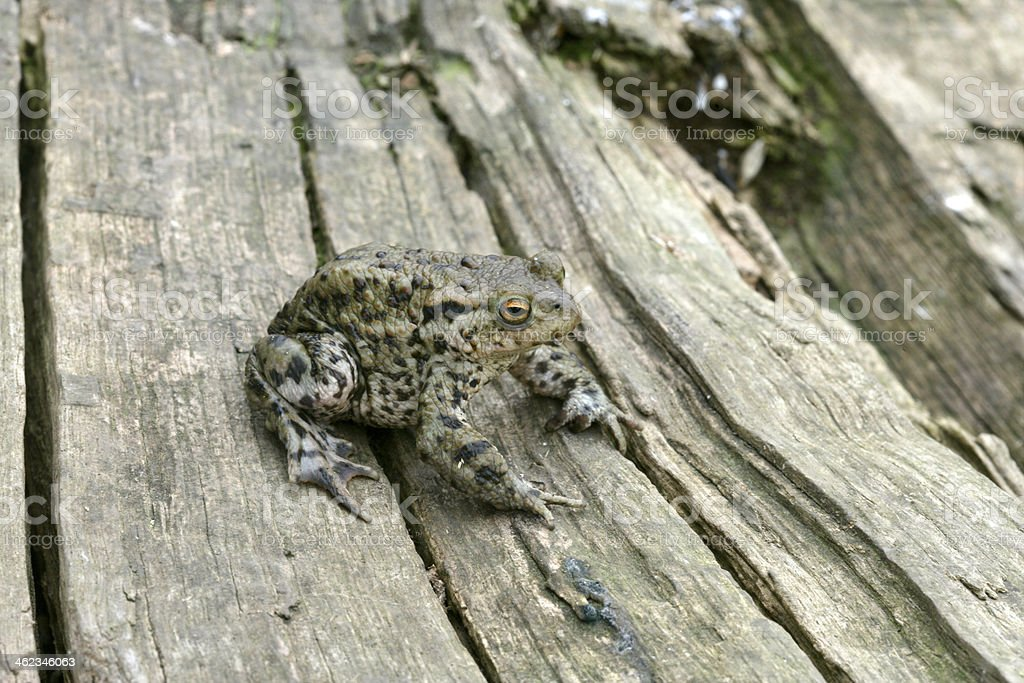 Common toad, Bufo bufoo stock photo