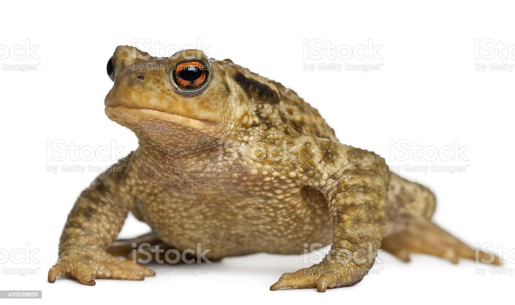 Common toad, bufo, in front of white background stock photo