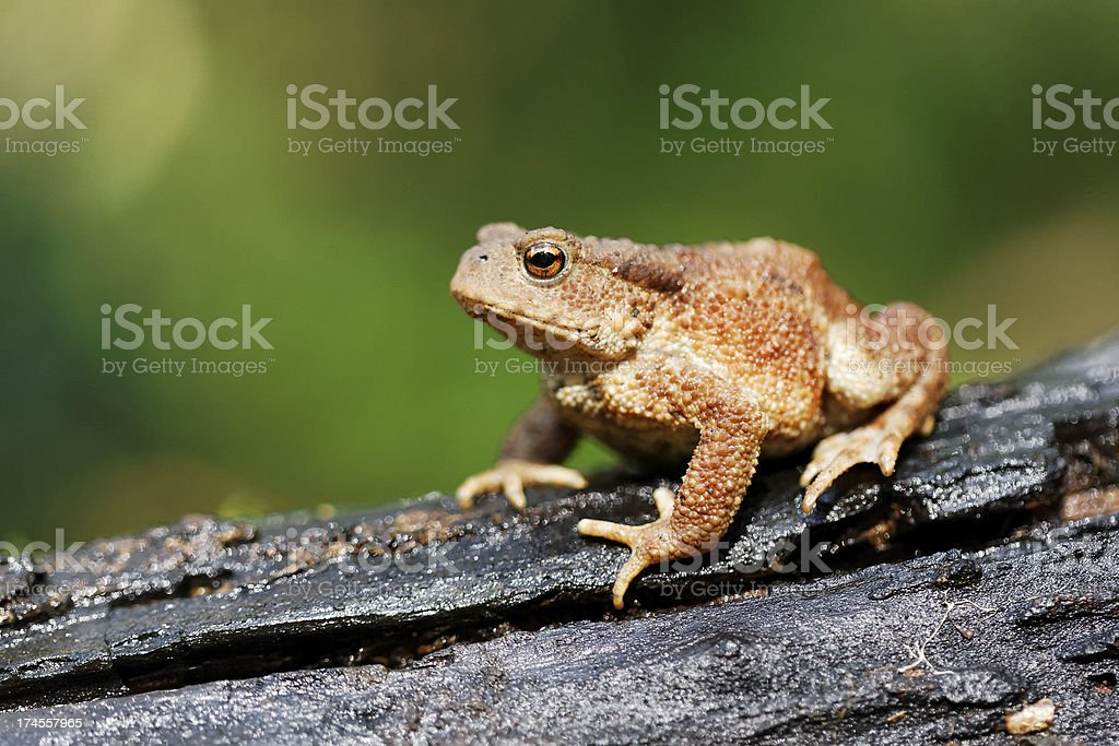 Common toad, Bufo stock photo
