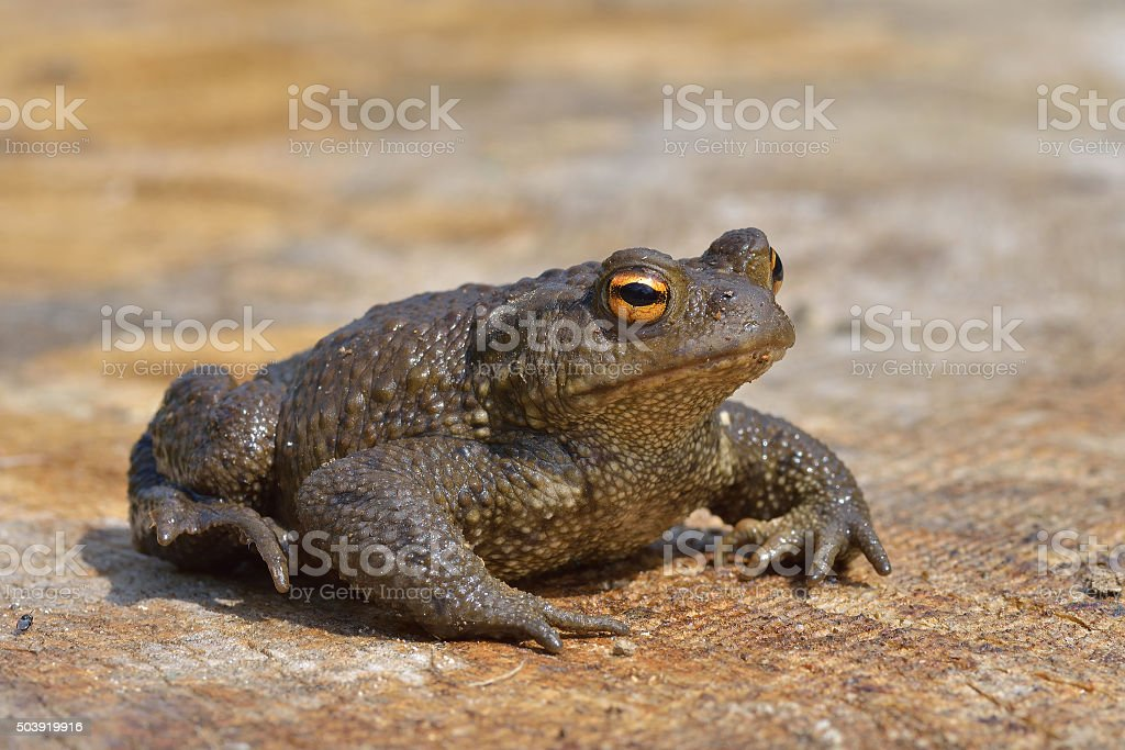 Common Toad - Bufobufo stock photo