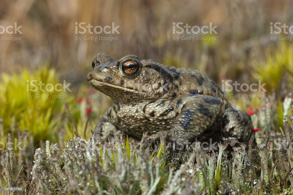Common Toad close-up stock photo