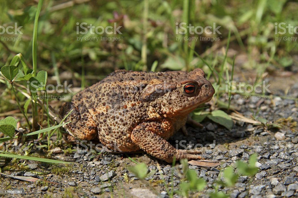 Common Toad, Erdkröte stock photo