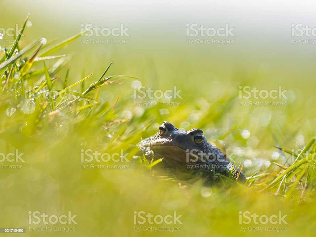 Common toad (Bufo bufo) in a field stock photo