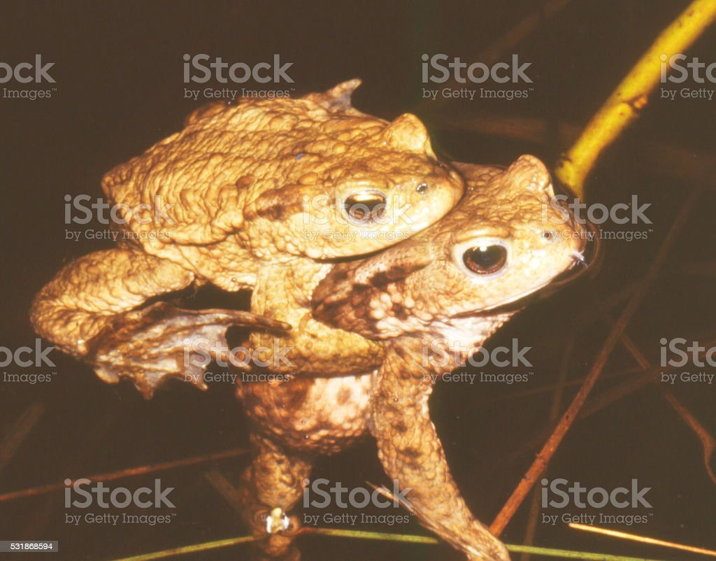 Common Toad (Bufo bufo) in courtship stock photo