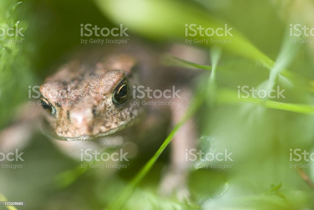 Common Toad In Grass royalty-free stock photo