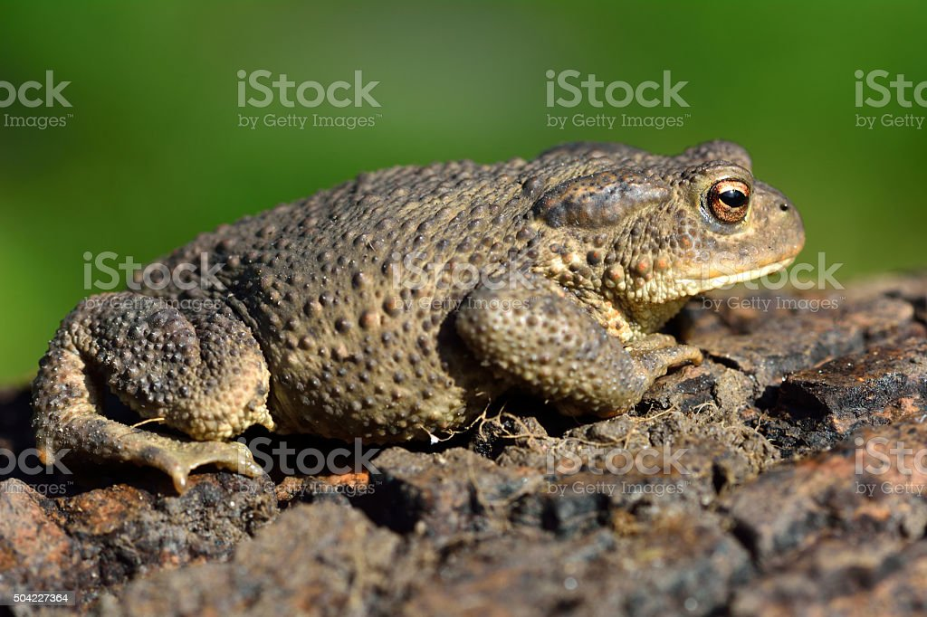 Common toad (Bufo bufo) in profile stock photo