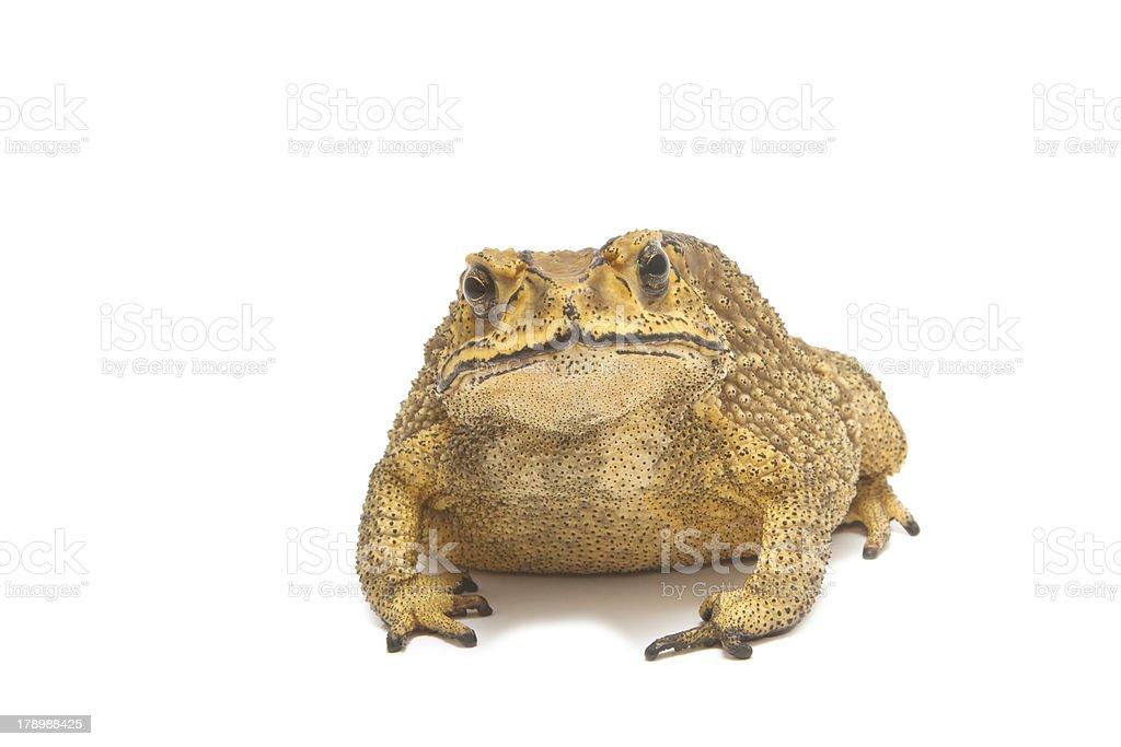 Common Toad isolate stock photo