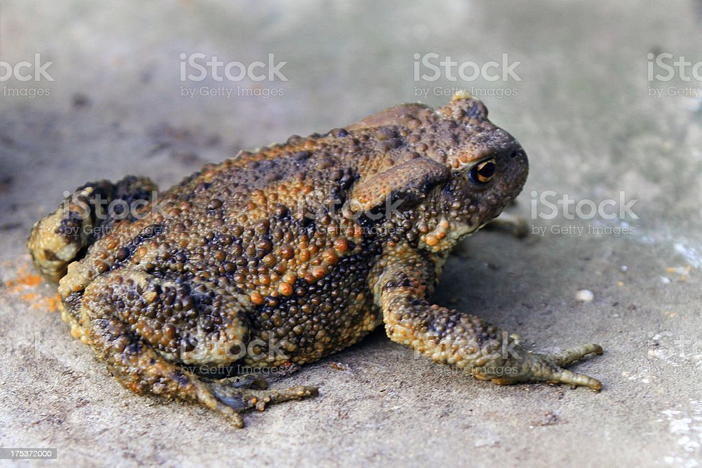 Common toad juvenile royalty-free stock photo