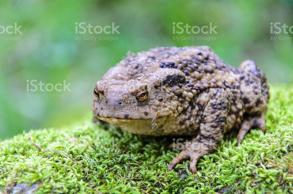 Common Toad (Bufo bufo)on moss in forest stock photo