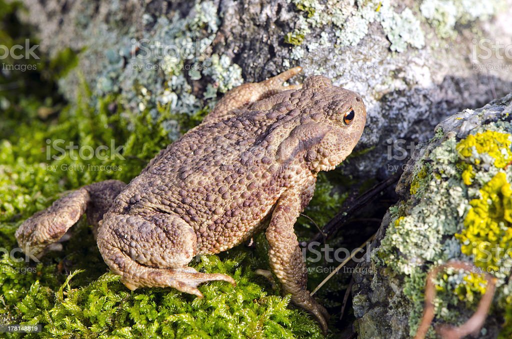 Common toad (Bufo) on moss stock photo