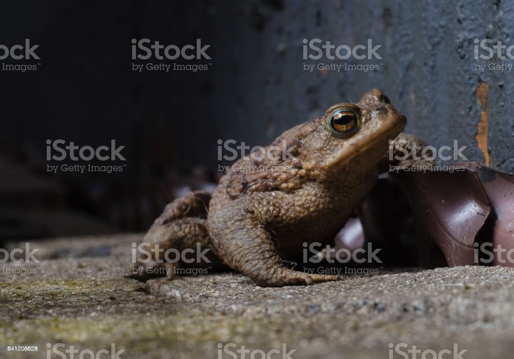 Common Toad on the floor stock photo