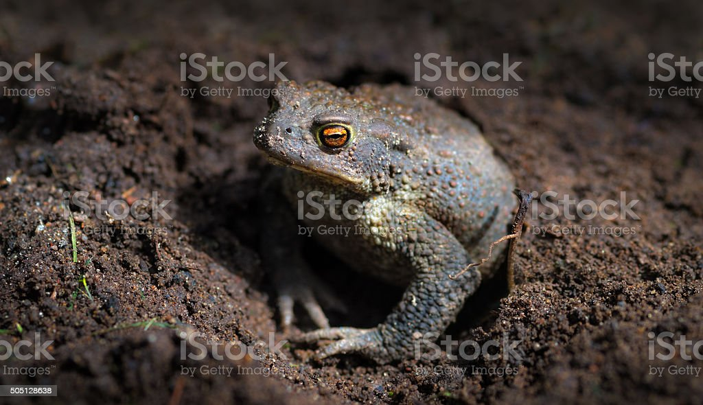 Common toad or European toad (Bufo bufo) hid in hole stock photo