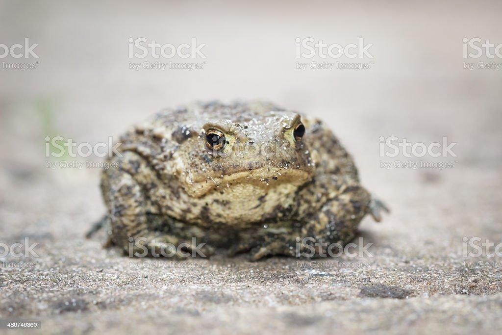 Common Toad stock photo