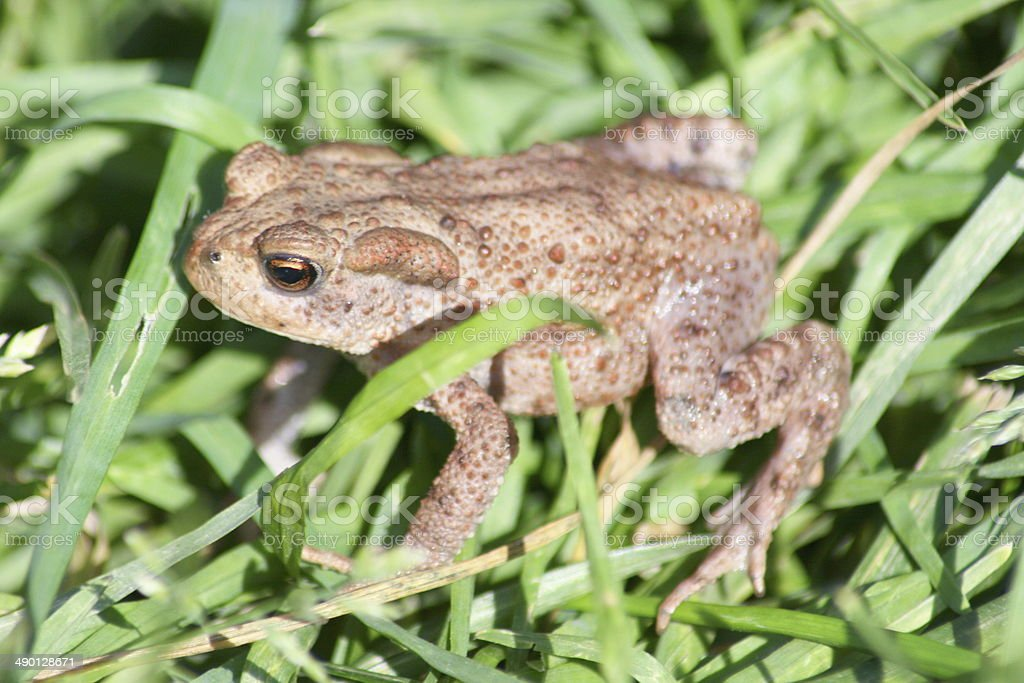 Common Toad, (Bufo bufo) stock photo