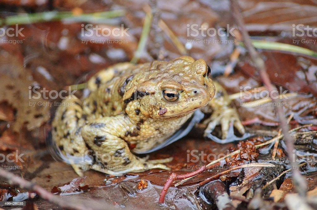 common toad stock photo