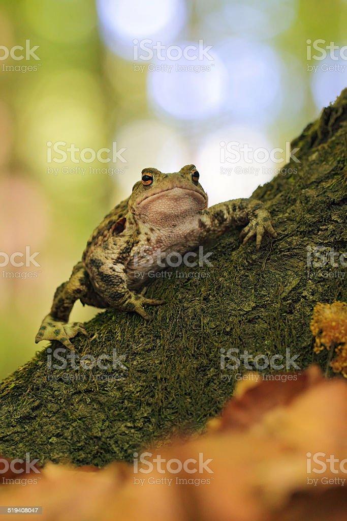 Common Toad (Bufo bufo) stock photo
