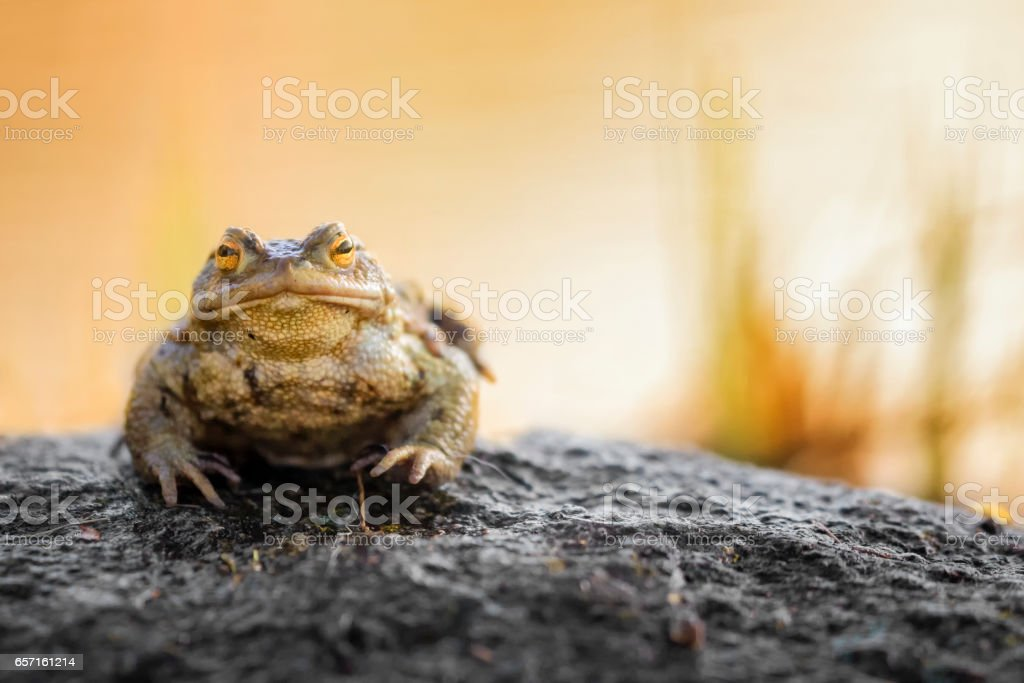 Common Toad (Bufo bufo) stock photo