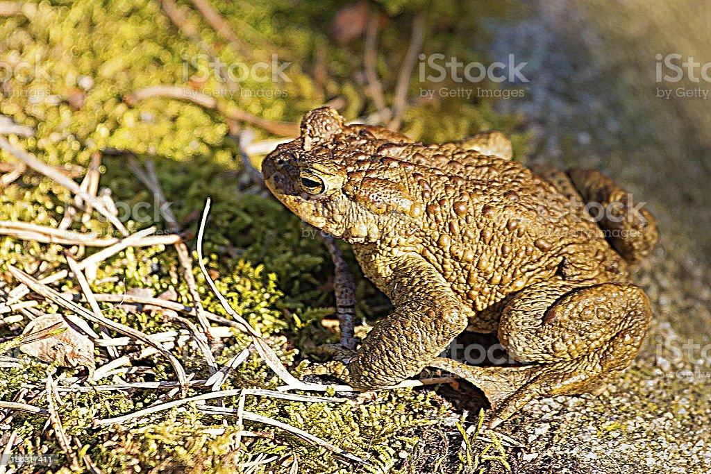 Common toad profile closeup royalty-free stock photo