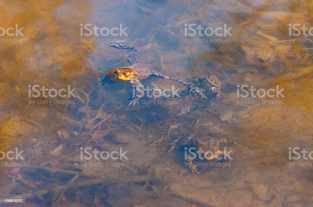 Common toads, Bufo-bufo amphibians in the water in early spring stock photo