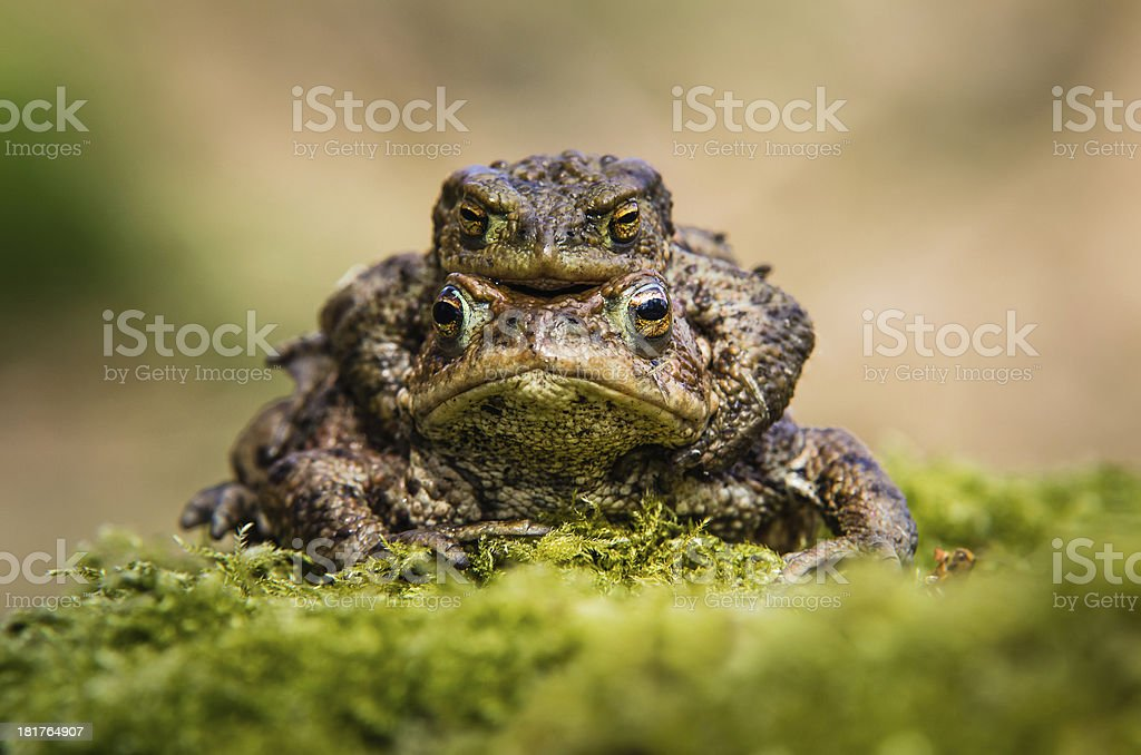 Common Toads mating royalty-free stock photo