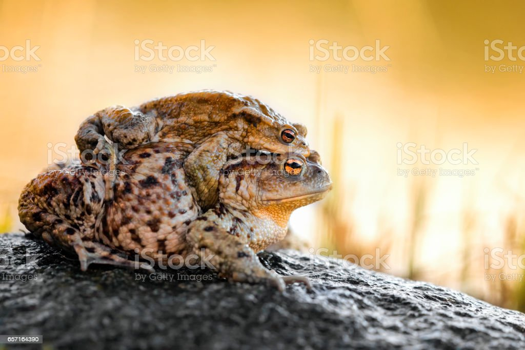 Common Toads (Bufo bufo) stock photo