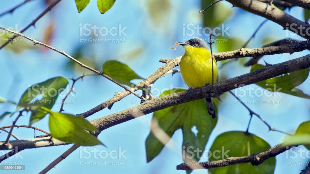 Common tody-flycatcher perched on tree branch stock photo