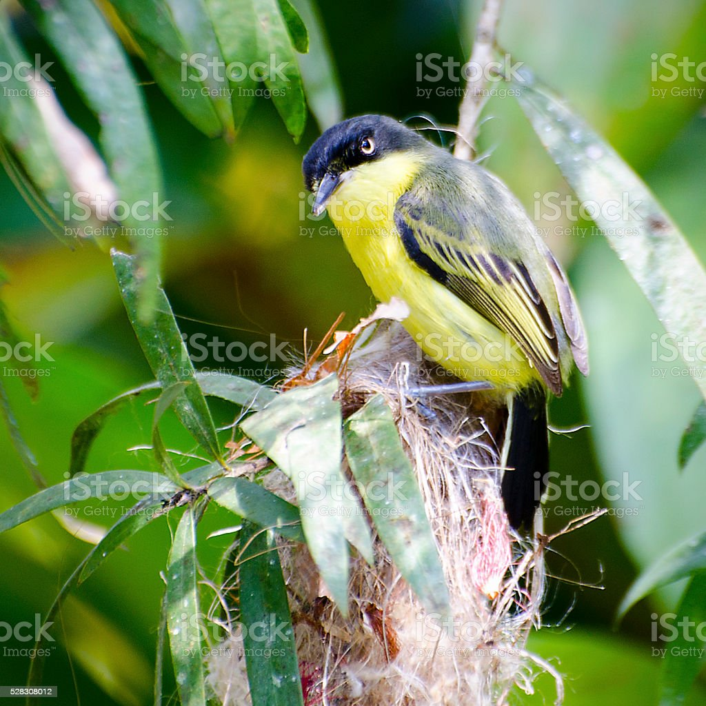 common tody-flycatcher, Todirostrum cinereum stock photo