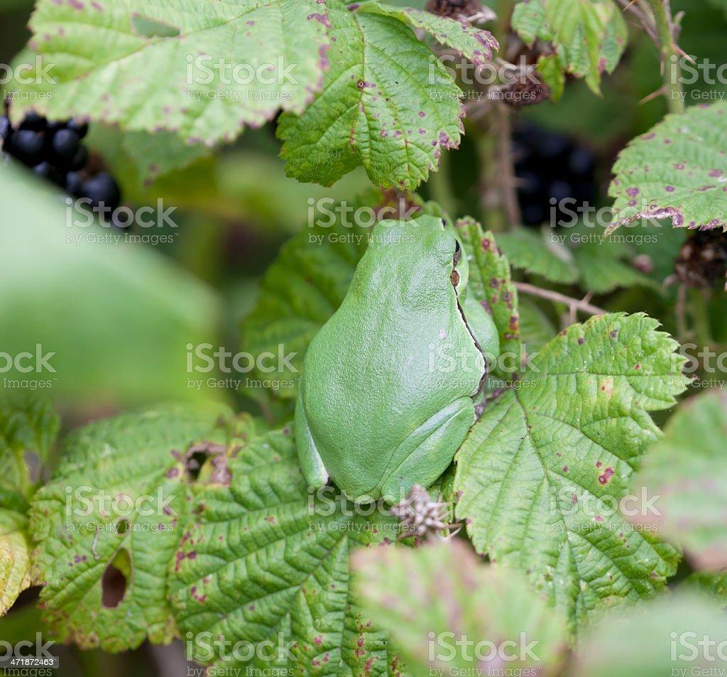 Common tree frog (Hyla arborea) royalty-free stock photo