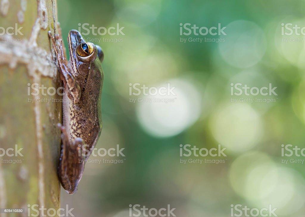 Common tree frog Polypedates leucomystax in terrarium stock photo