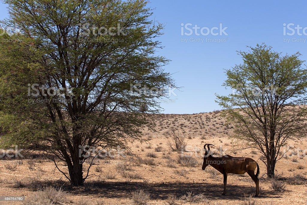 Common tsessebe (Alcelaphus buselaphus)the camera stock photo