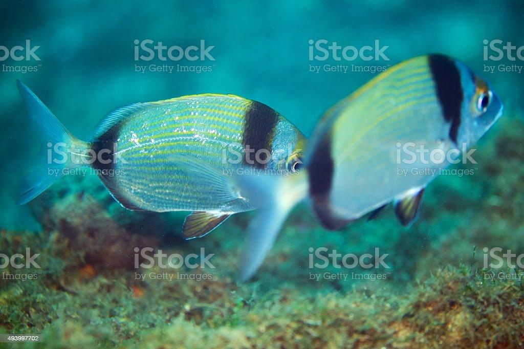 Common two-banded seabream (Diplodus vulgaris) stock photo