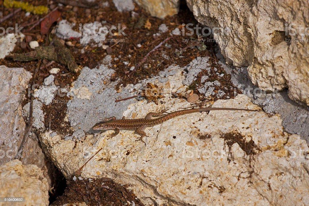 Common Wall Lizard ( Podarcis muralis ) in France stock photo
