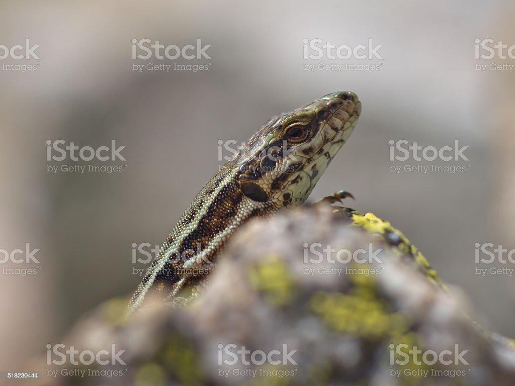 Common Wall Lizard on rock stock photo