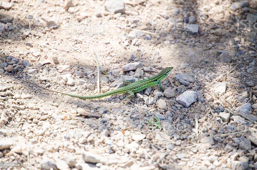 common wall lizard stock photo