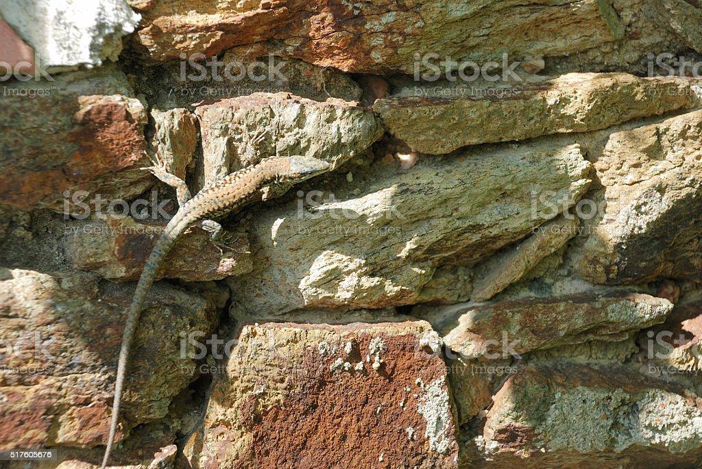 Common wall lizard (Podarcis muralis) stock photo
