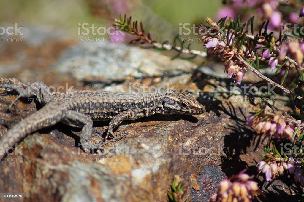 Common Wall Lizard - Podarcis muralis stock photo