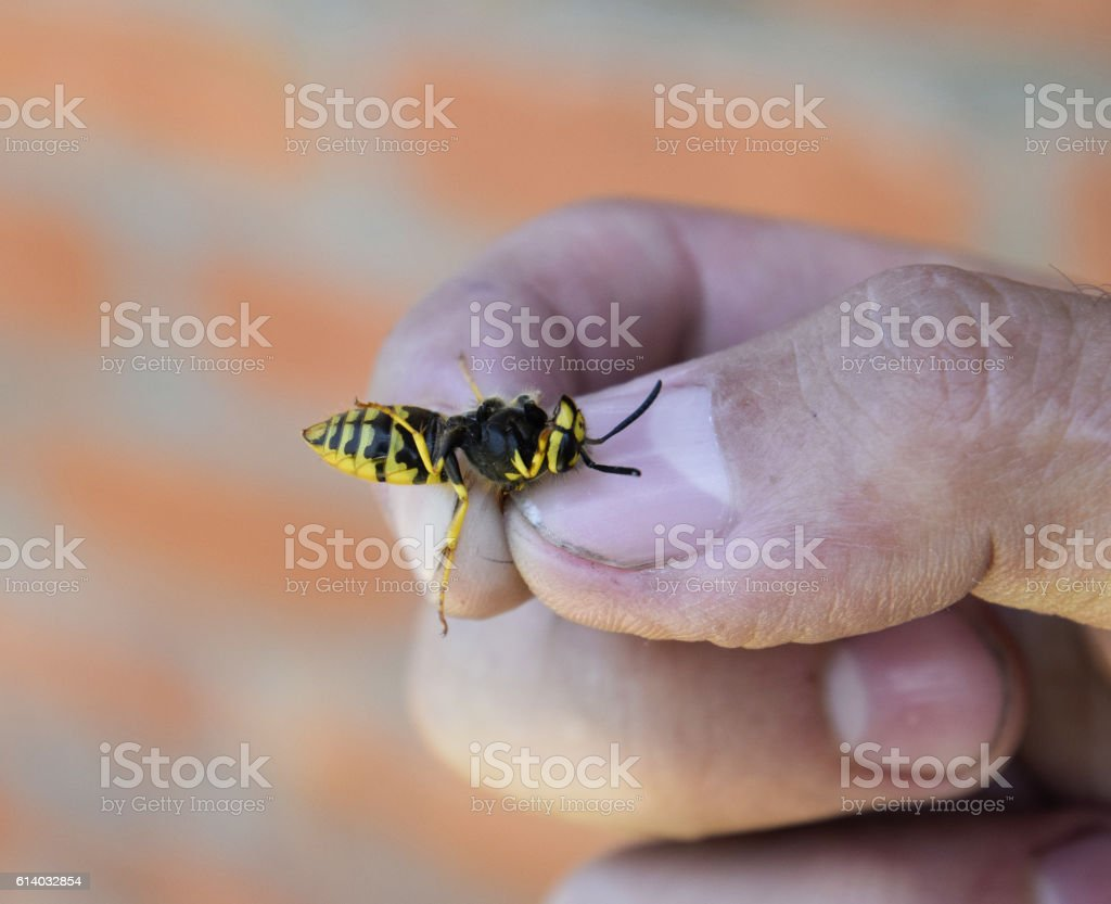 Common wasp on pinched fingers stock photo