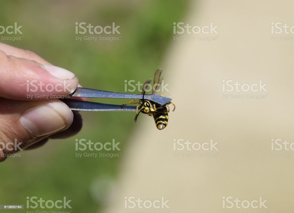 Common wasp on tweezers stock photo