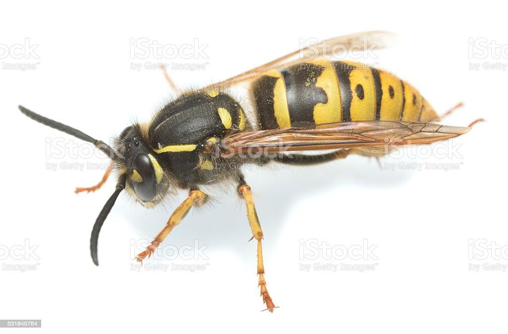 Common wasp, Vespa vulgaris isolated on white background stock photo