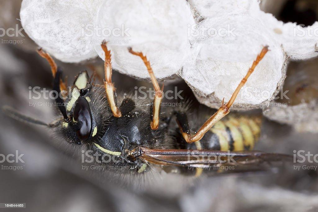 Common wasp, Vespula vulgaris on wasp's nest royalty-free stock photo