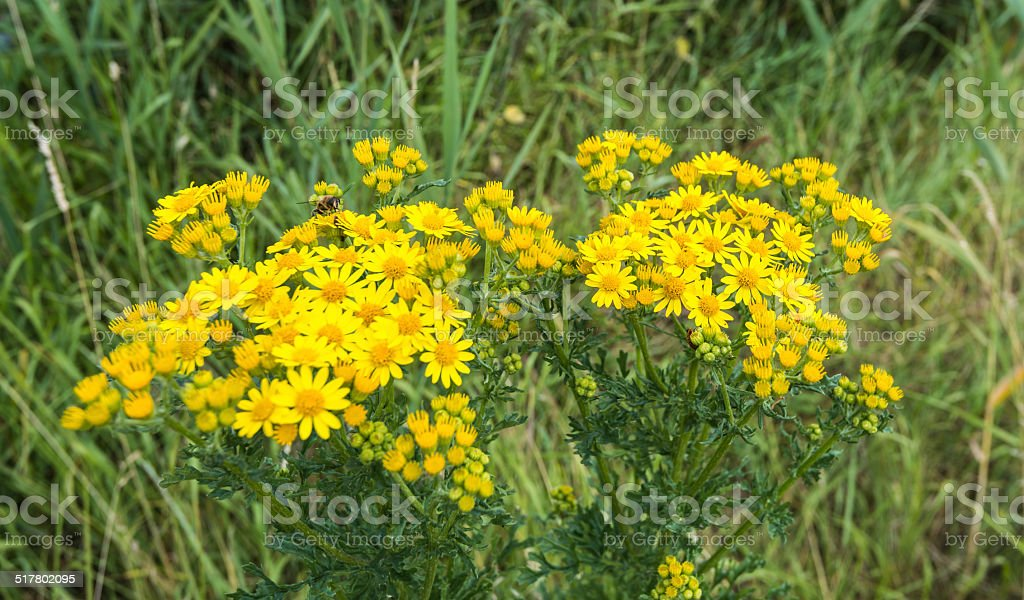 Common wasp visiting a yellow flowering Ragwort plant stock photo