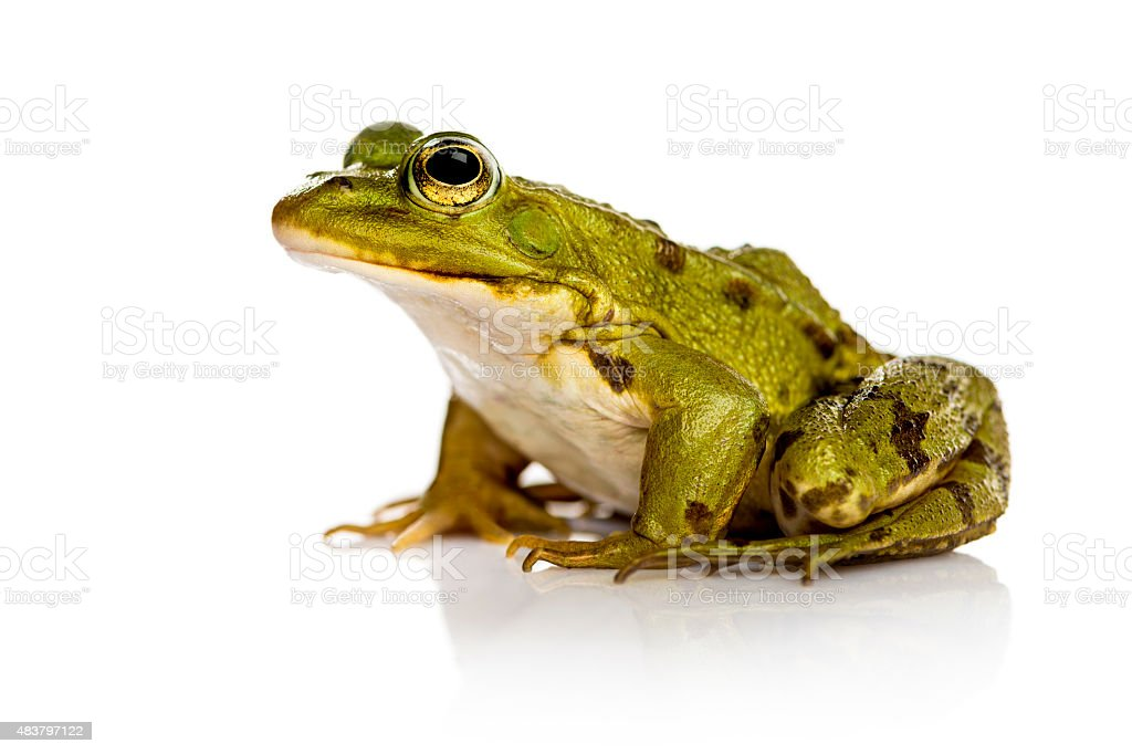 Common Water Frog in front of a white background stock photo