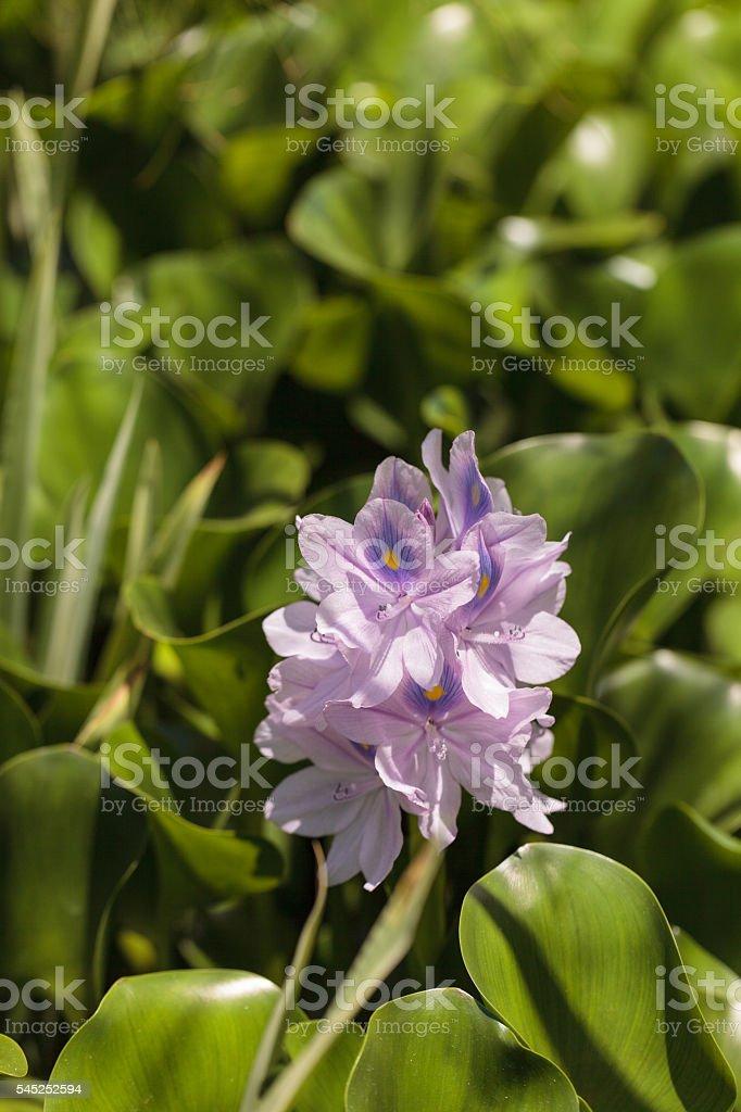 common water hyacinth Eichhornia crassipes stock photo
