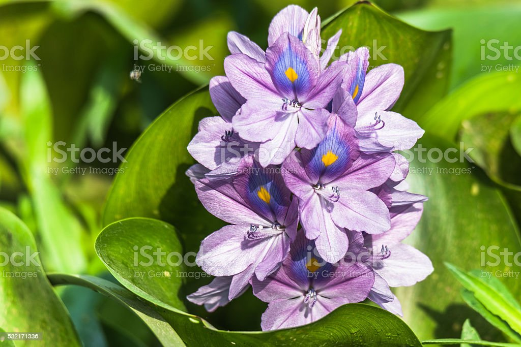 Common water hyacinth flower stock photo