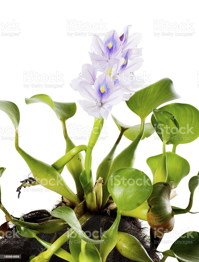 Common Water Hyacinth (Eichhornia crassipes) stock photo