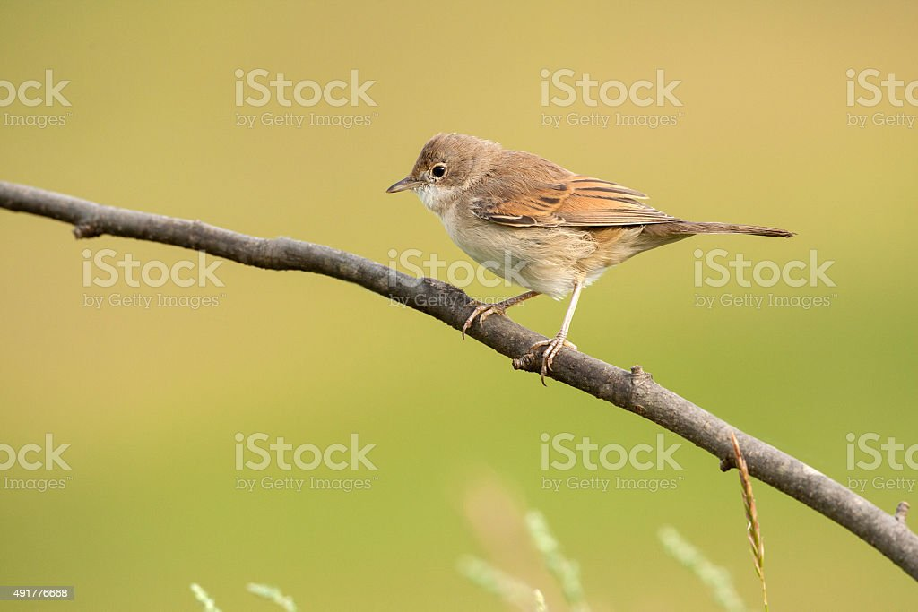 Common whitethroat on a branch stock photo