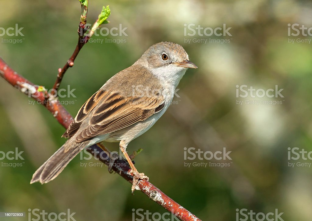 Common Whitethroat (Sylvia communis) stock photo