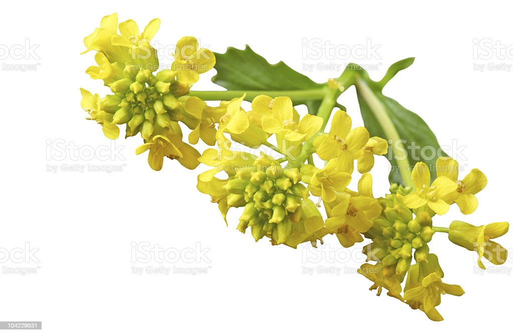 Common Winter Cress royalty-free stock photo