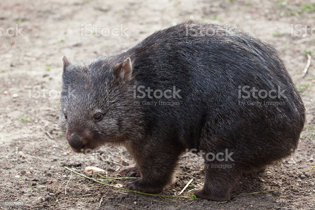 Common wombat (Vombatus ursinus). stock photo